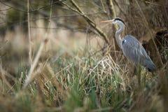 Grey Heron - wildlife in its natural habitat. Grey Heron  Ardea cinerea - wildlife in its natural habitat stock photo