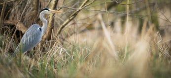 Grey Heron - wildlife in its natural habitat. Grey Heron  Ardea cinerea - wildlife in its natural habitat stock images
