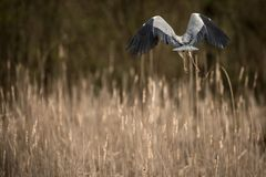 Grey Heron - wildlife in its natural habitat. Grey Heron  Ardea cinerea - wildlife in its natural habitat royalty free stock photos