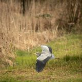 Grey Heron - wildlife in its natural habitat. Grey Heron  Ardea cinerea - wildlife in its natural habitat stock photos