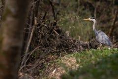 Grey Heron - wildlife in its natural habitat. Grey Heron  Ardea cinerea - wildlife in its natural habitat royalty free stock photography