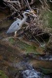 Grey Heron - wildlife in its natural habitat. Grey Heron  Ardea cinerea - wildlife in its natural habitat royalty free stock photo