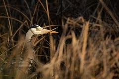 Grey Heron - wildlife in its natural habitat. Grey Heron  Ardea cinerea - wildlife in its natural habitat royalty free stock image