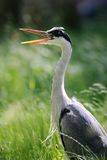 Grey Heron (ardea cinerea) yawning Stock Images