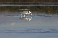 Grey Heron & x28; Ardeacinerea& x29; Arkivbilder
