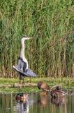 Grey Heron attrapant le soleil de matin Photographie stock libre de droits