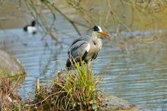 Grey Heron au bord de lac Images stock
