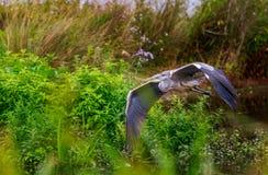 Grey Heron auf Endanflug Lizenzfreie Stockfotos