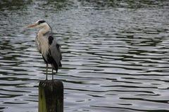 Grey Heron-Aufstellung Stockfoto