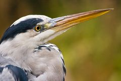 Grey heron in autumn Stock Photo