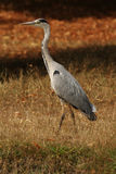Grey Heron on autumn colored grass. A vertical shot of a Grey Heron taken in the height of Summer but due to lack of rain the grass is dead so it looks like Royalty Free Stock Photos