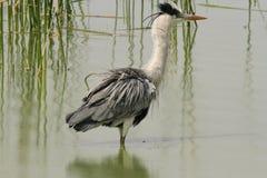 Grey Heron ayant un bain Photographie stock libre de droits