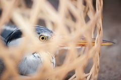 Grey Heron in bamboo basket caged in local market near Thai-Laos stock photography