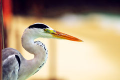 Grey Heron at the beach Stock Photography