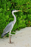 Grey Heron Royalty Free Stock Photo