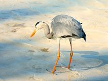Grey Heron on the beach in the Maldives Stock Photo