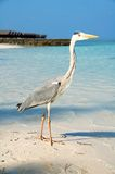 Grey Heron on the beach in the Maldives Royalty Free Stock Image