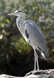 Grey heron 7 Stock Photos