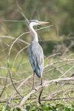 Grey heron from behind turns head right Royalty Free Stock Images