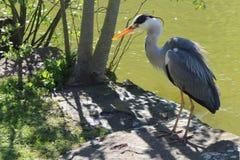 Grey Heron bevindt zich op de waterkant royalty-vrije stock foto's
