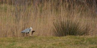 Grey Heron with big fish Stock Photos