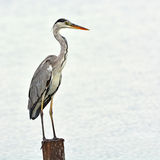 Grey Heron Bird Royaltyfri Foto