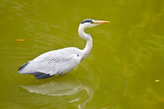 Grey Heron Bird Fotografia Stock