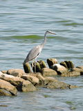 Grey Heron Bird Immagine Stock