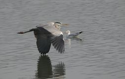 Grey Heron Bird Immagine Stock Libera da Diritti