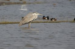 Grey Heron Bird Royalty-vrije Stock Foto's