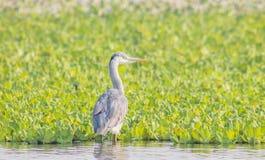 Grey Heron Bird Imagen de archivo