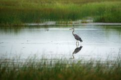 Grey Heron Bird Lizenzfreies Stockbild