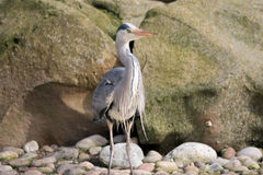 Grey Heron Bird. Ardea cinerea Royalty Free Stock Photo