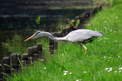 Grey heron bird catching a fish. In water Royalty Free Stock Image