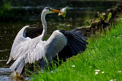 Grey heron bird catching a fish. In water Royalty Free Stock Photos