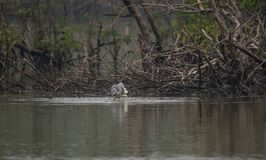 Grey Heron with fish. Grey Heron bird catching a fish from river Royalty Free Stock Image