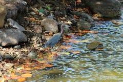 Grey Heron Bird che sta in un lago basso Immagini Stock