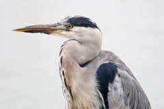 Grey heron bird  in closeup Stock Photos