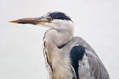 Grey heron bird  in closeup. Grey heron bird  with his head pulled in as closeup Stock Photos