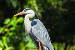 Grey Heron Bird Stock Image