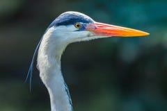 Grey Heron Bird Head Stock Photography