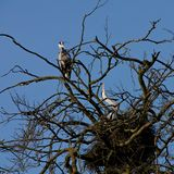Grey heron bird couple sitting on the nest Stock Photography