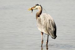 Grey heron bird with a fish Stock Photo