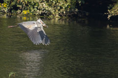 Grey Heron Bird in  flight Stock Images