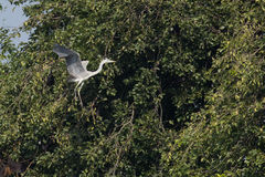 Grey Heron Bird in  flight Stock Image