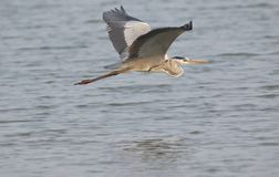 Grey heron bird flying. Alone  above the river water surface stock photo