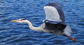 Grey Heron, Bird, Graceful, Large Stock Images