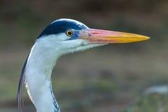 Grey Heron Bird Head Stock Image
