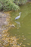 Grey Heron bird Stock Photo