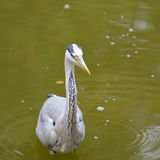 Grey Heron bird Royalty Free Stock Photography